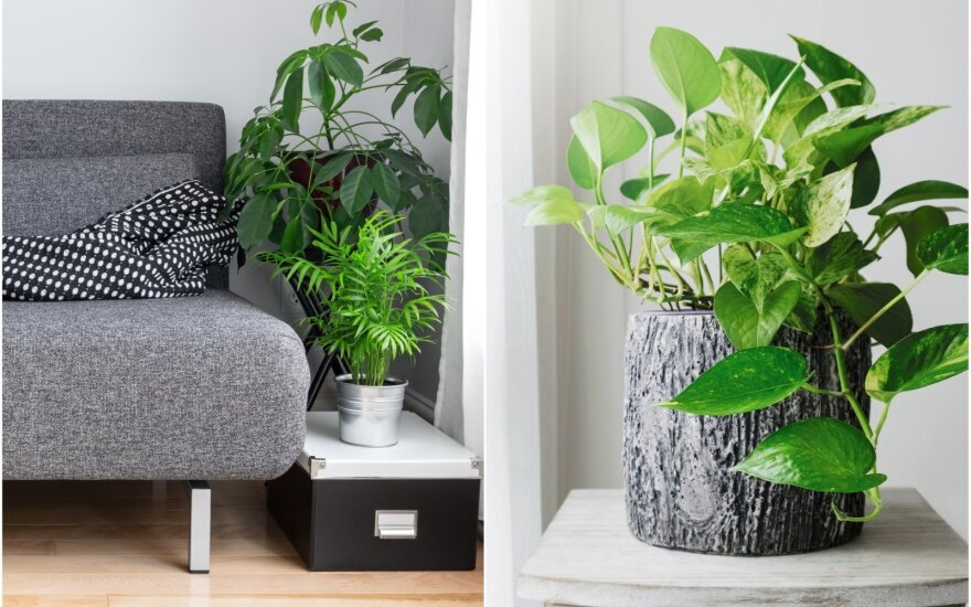 Kambariniai augalai, kuriems reikia mažai priežiūros