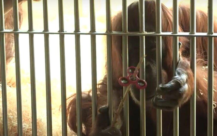 Linksmas vaizdelis: orangutangas žaidžia su pasaulį užkariavusiu sukučiu
