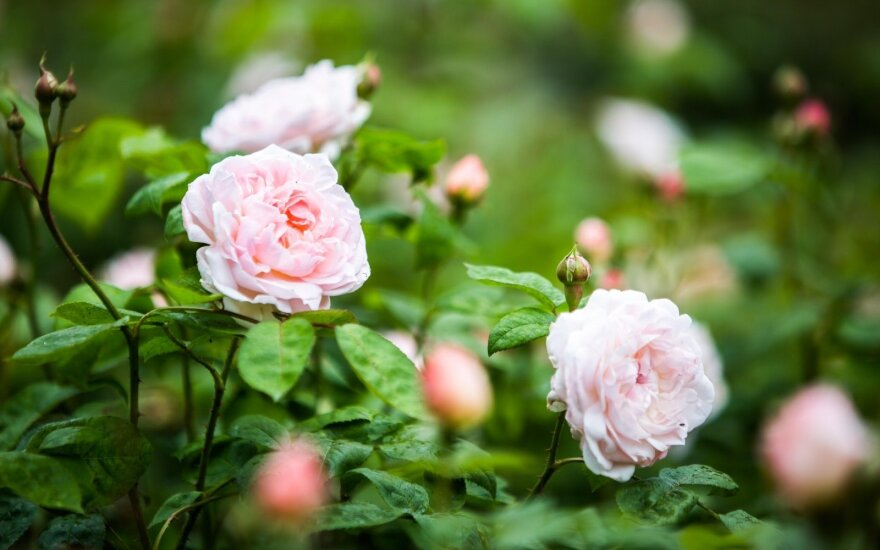 Viduramžių rožės žydi ir Lietuvoje