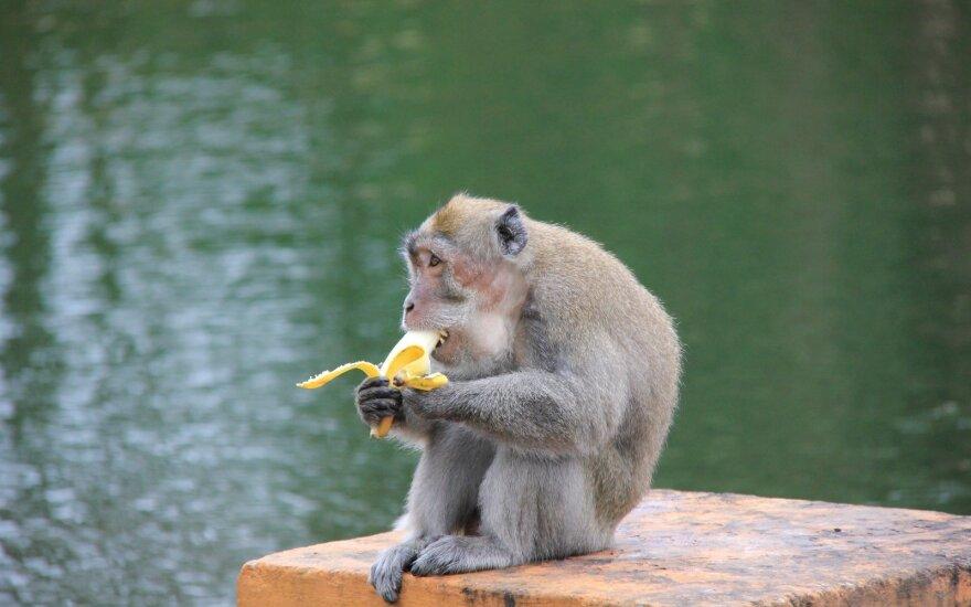 Singapūre užregistruotas pirmasis beždžionių raupų atvejis