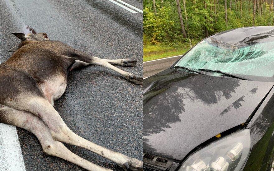 Trakų rajone dienos metu į kelią išbėgo briedis: automobilis sumaitotas, gyvūnas žuvo