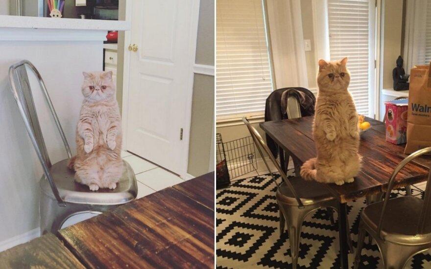 Ant dviejų kojų stovintis katinas