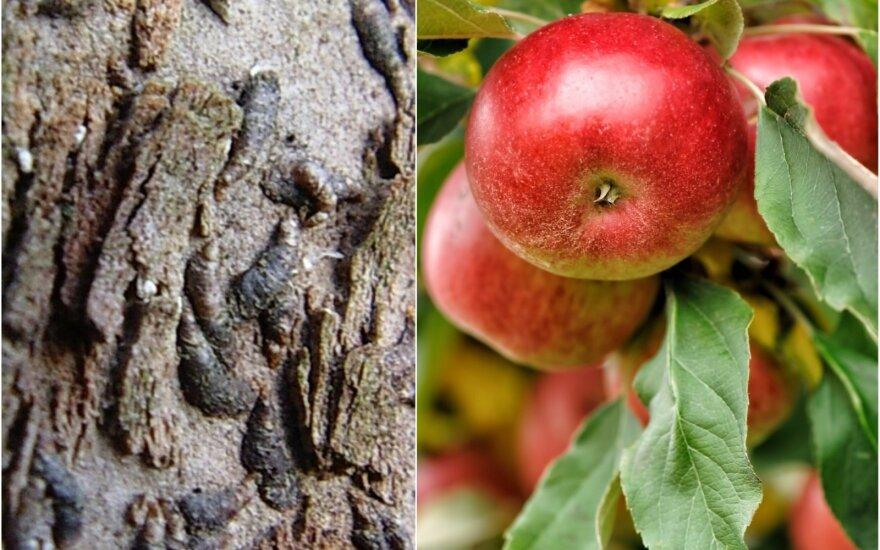 Obelų kenkėjai