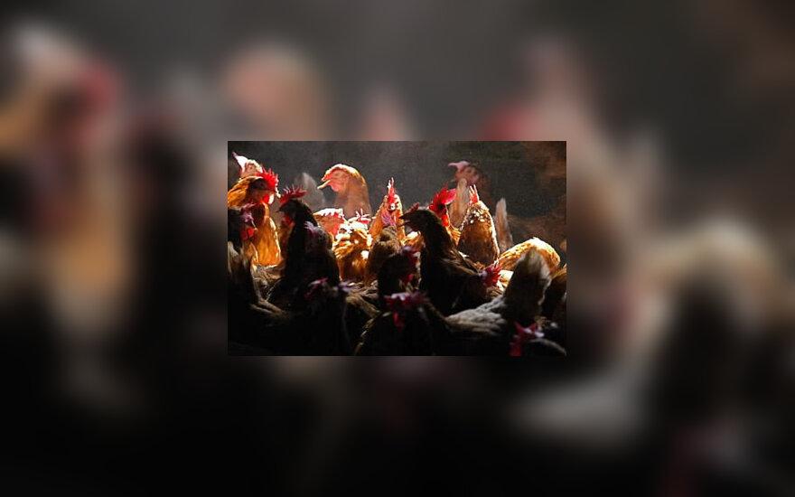 Vištos, paukščių gripas