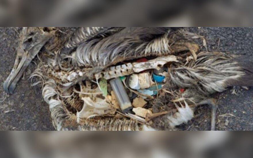 Štai taip atrodo plastmasės prisilesęs paukštis