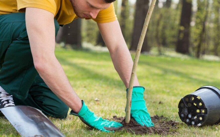Pavasario sutiktuvių proga Lapėse pasodinta šimtai medžių
