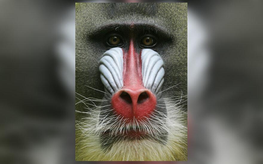 Mandrilas (bezdžionė)