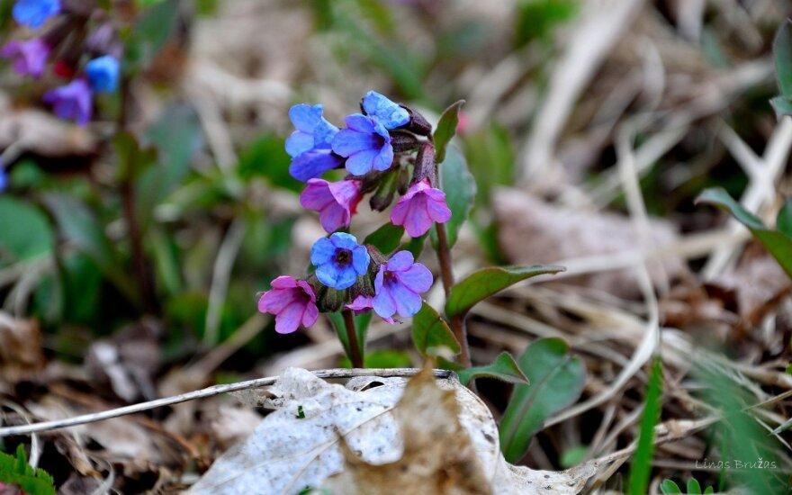 Viena pirmųjų pavasarinių gėlių - didi gyduolė: išvys kosulį, pagydys gastritą, akmenliges ir žaizdas