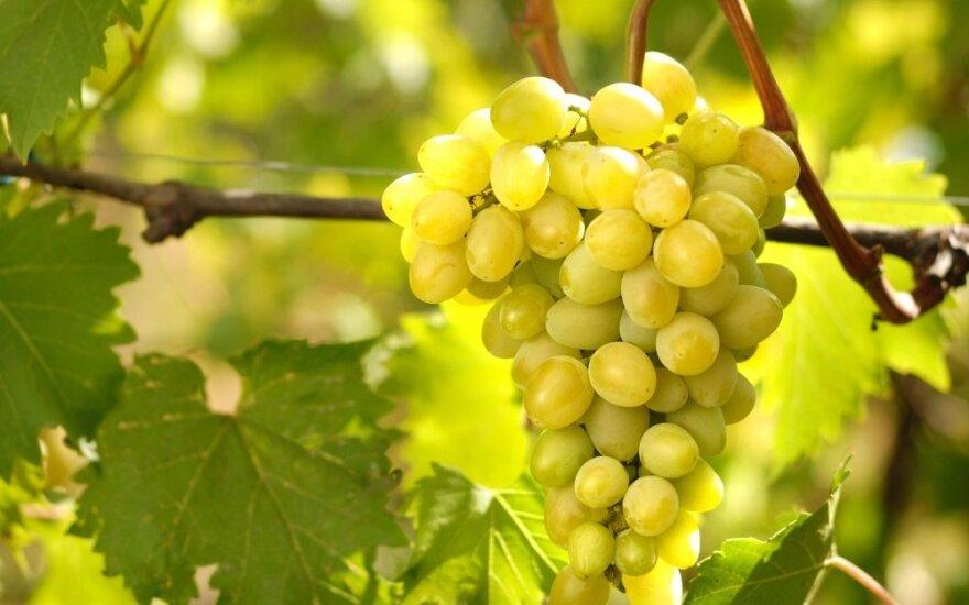 Vynuogių augintojas išskiria vertingiausias veisles, tinkančias Lietuvos klimatui