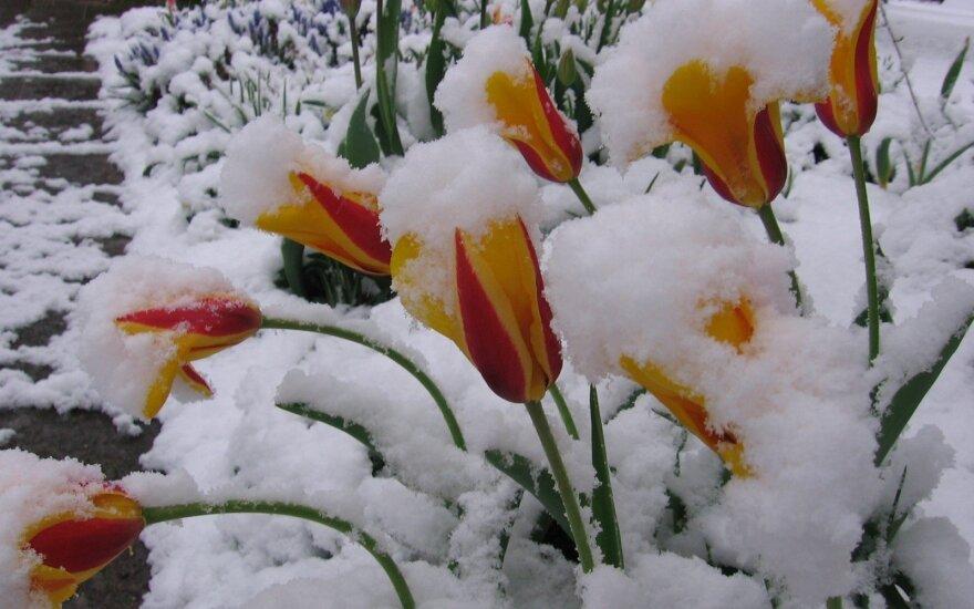 Sniegas gegužę – tikrai ne baisiausia