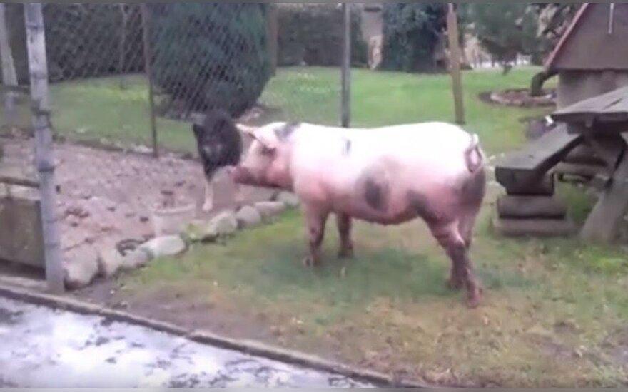 Apgirtusi kiaulė