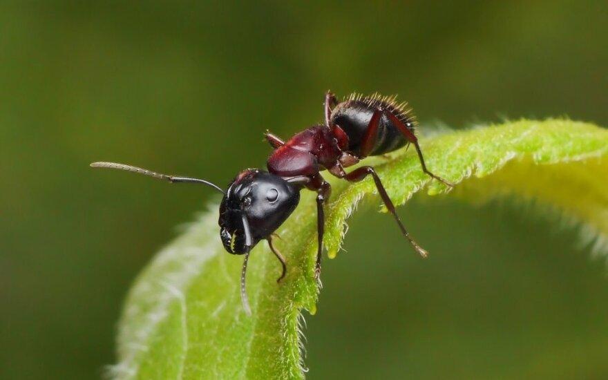Patarimai, kaip kovoti su skruzdėlėmis sode