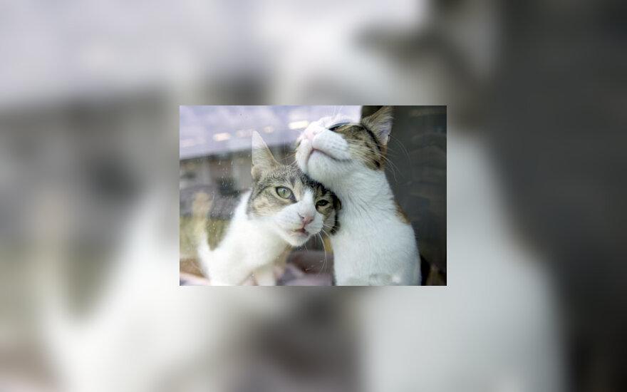 Katės