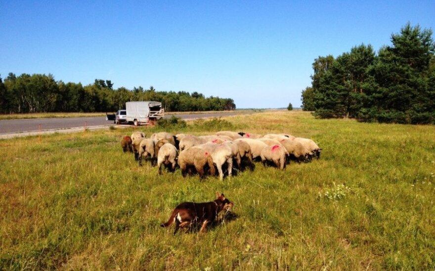 Avys Kuršių Nerijoje