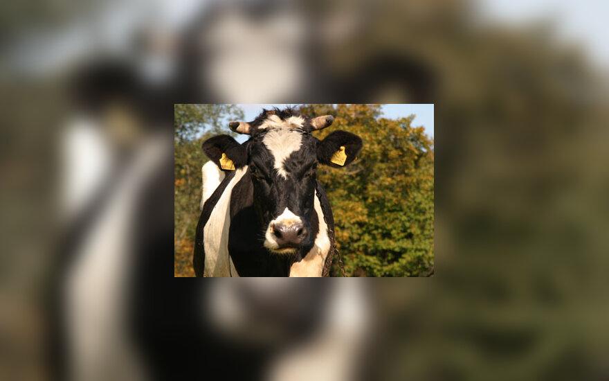 Karvė, kaimas, galvijai