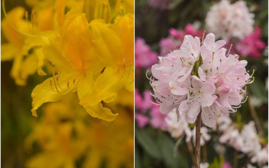 Botanikos sodą Kaune žiedais ir sodriais aromatais spalvina rododendrai