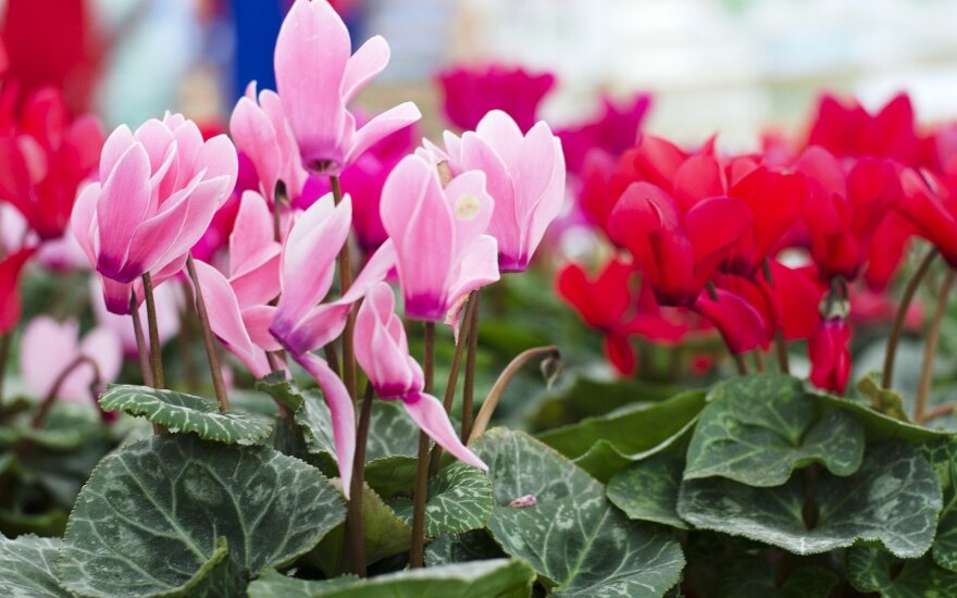 Būkite atsargūs: šie populiarūs kambariniai augalai pavojingi sveikatai