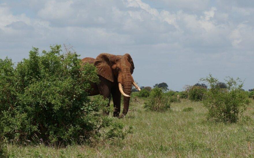 Zimbabvėje dramblys mirtinai sutrypė vokiečių turistę