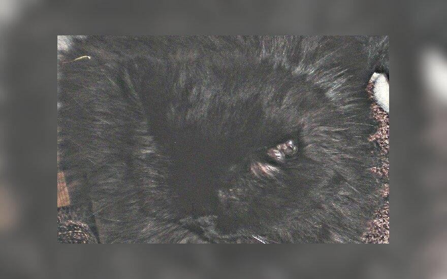 Dingo persų veislės katė Tcina