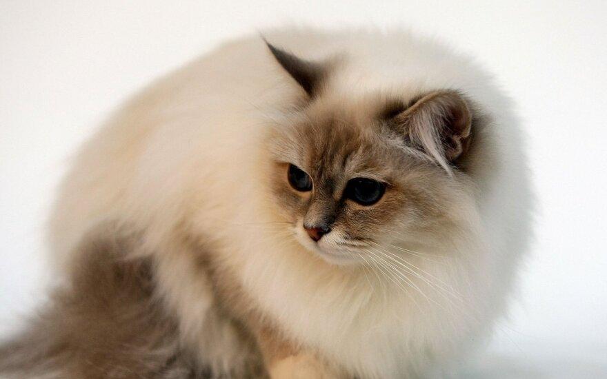 Birmos katės – elegantiško būdo ir grožio