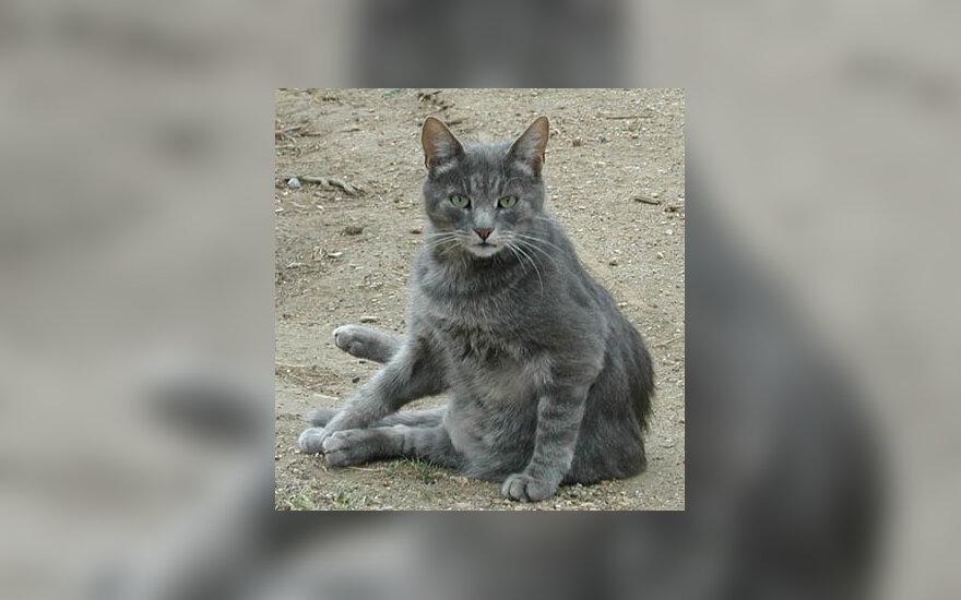 katė, katinas