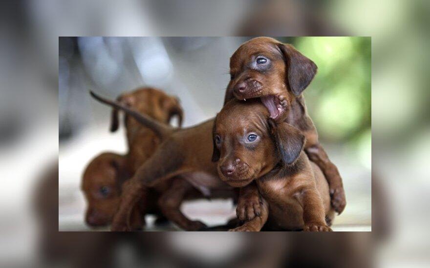 Du maži šuniukai