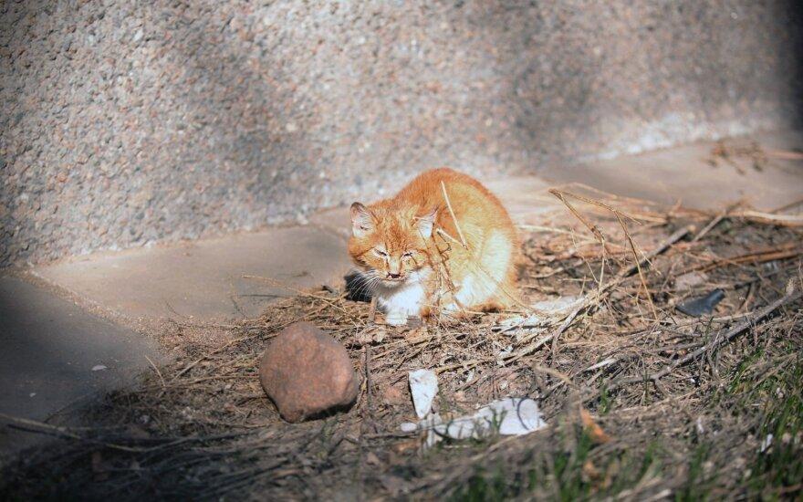 Statistinio beglobio gyvūno kančia gatvėje: katytės Aurėjos istorija