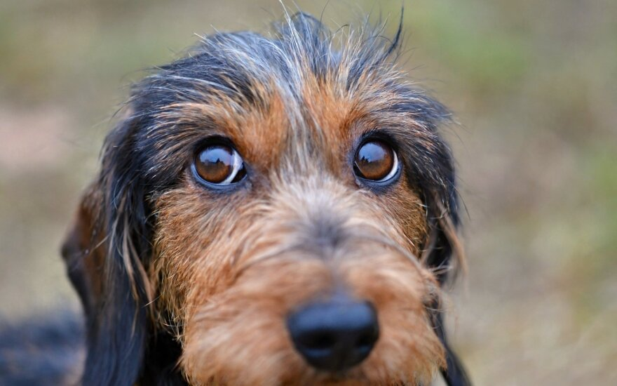 Mokslininkai: šunų akys evoliucionavo, kad patiktų žmonėms