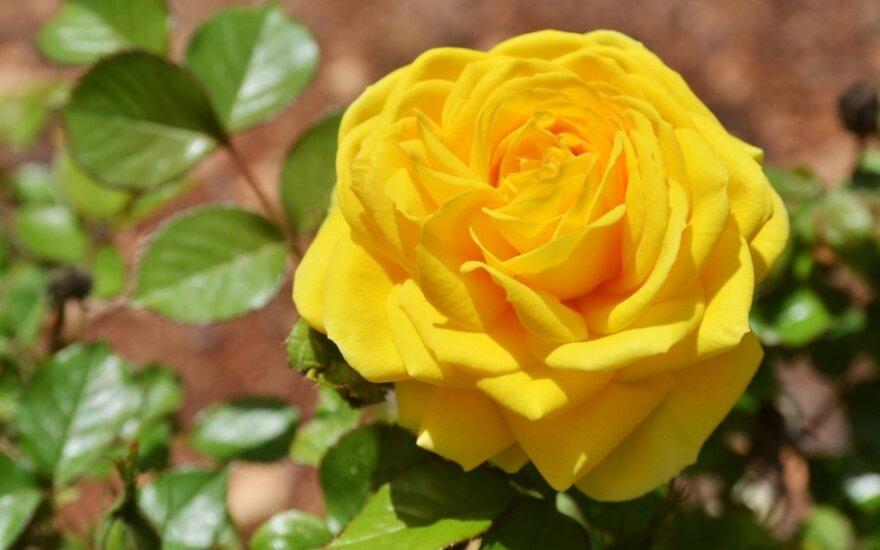Rožių augintojas gėles prilygina klasikinei muzikai