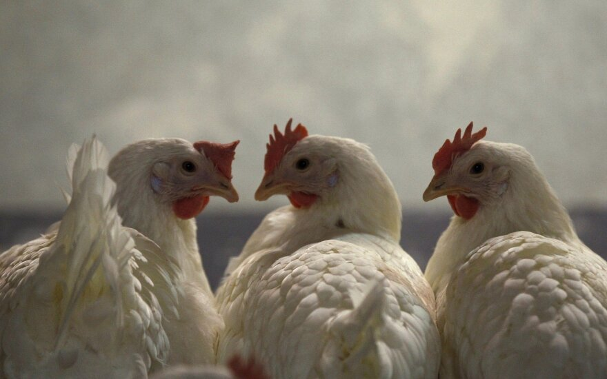 Kiaulių ir vištų augintojai nebeįperka lietuviškų grūdų, prašo leidimo įsivežti pigesnių