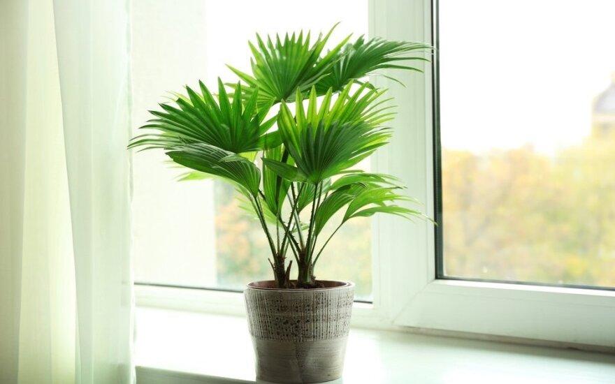 Išgelbėti mirštantį augalą gėlininkai padės net telefonu