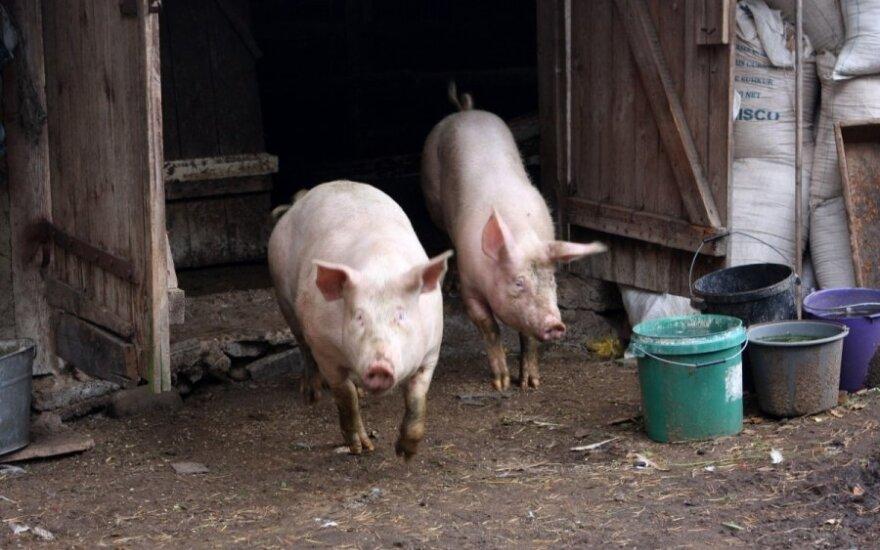 Europai iškilo kiaulių epideminės diarėjos grėsmė