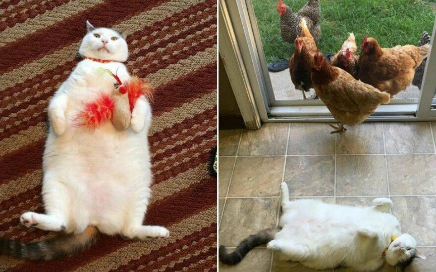 Vištų garbinamas katinas