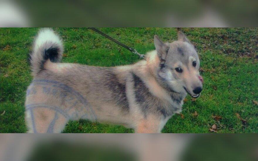 Policija prašo pagalbos ieškant pavogtų brangių šunų