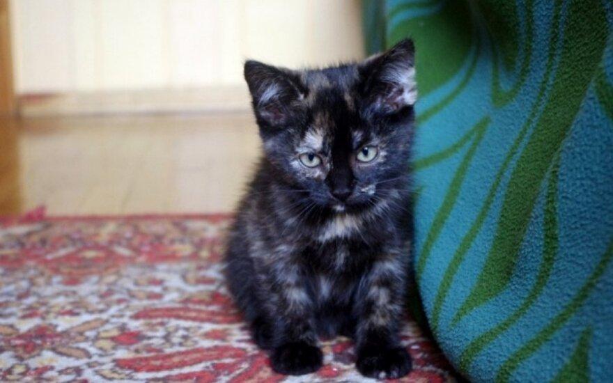 Dovanojami du žavūs mažyliai - kačiukas ir katytė