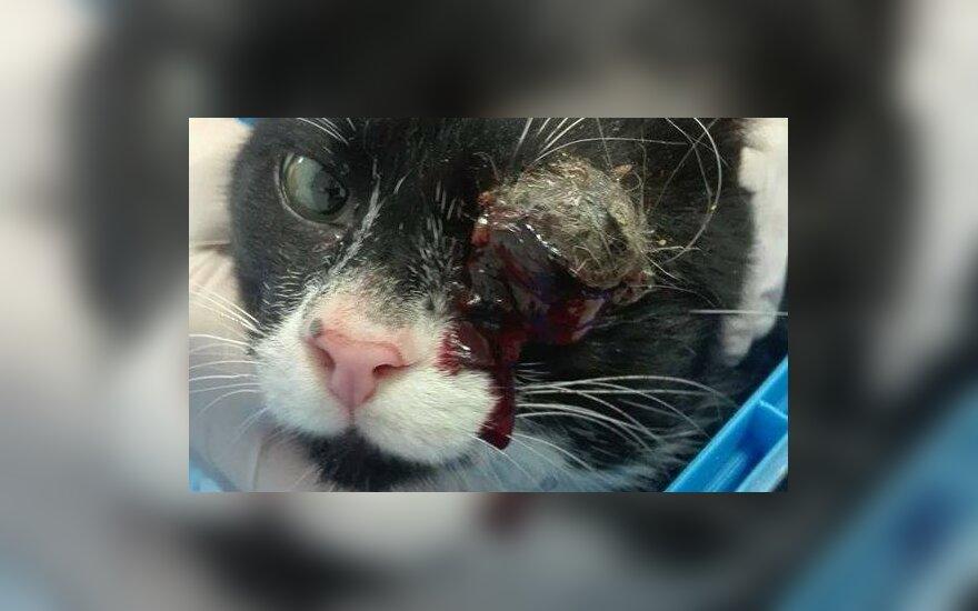 Ūsiui reikia skubios paramos – šeimininkės išduotam katinėliui reikalinga operacija