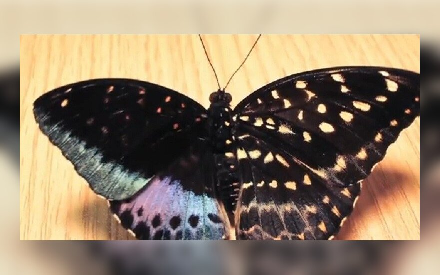 Dvilytis drugelis, kurį atrado savanoris drugelių parodoje Filadelfijoje
