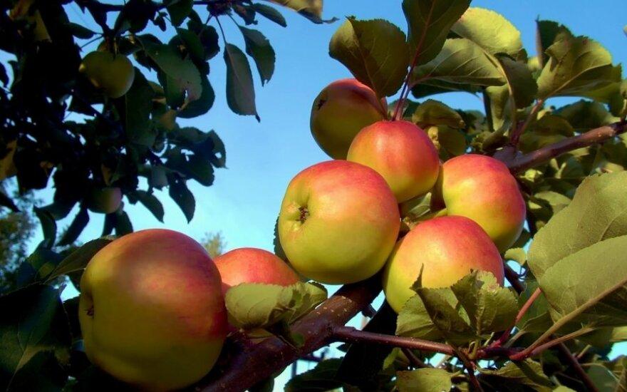 Mėnulio kalendorius: kokius ir kada rudenininius darbus reikia atlikti sode