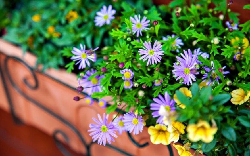 Norite gėlėmis pasipuošti balkonus ir palanges – suskubkite jau dabar