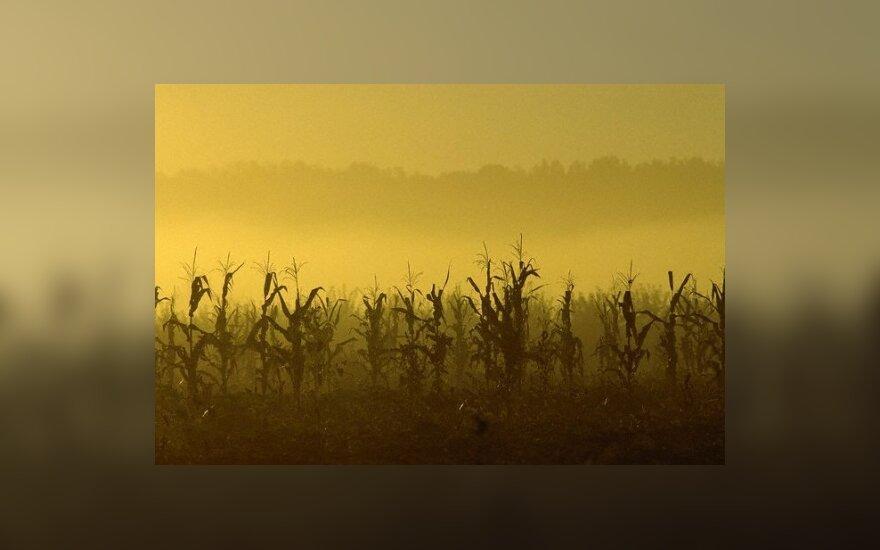 Kukurūzų laukas