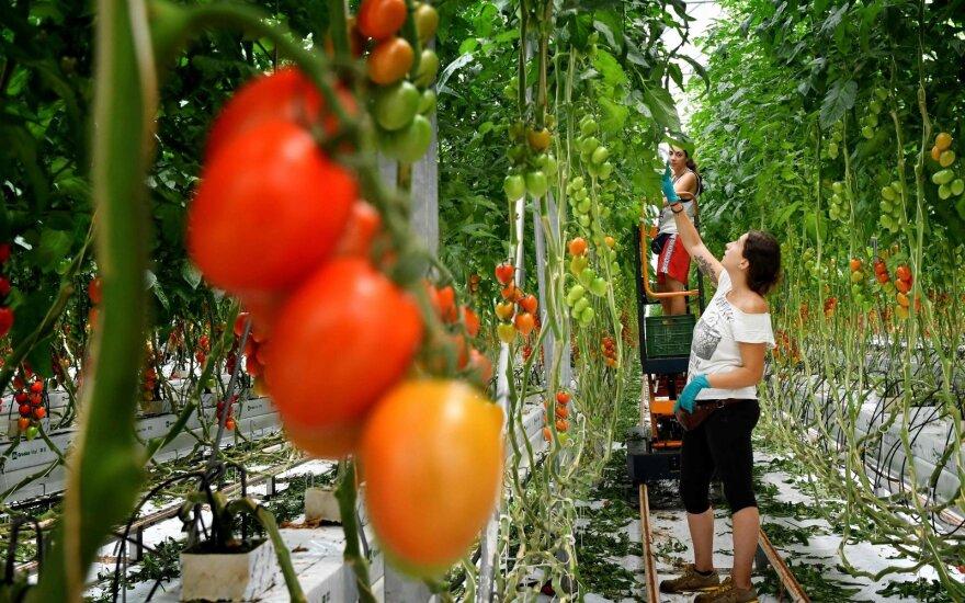 Gelbėti itališką derlių prašoma nelegalių imigrantų