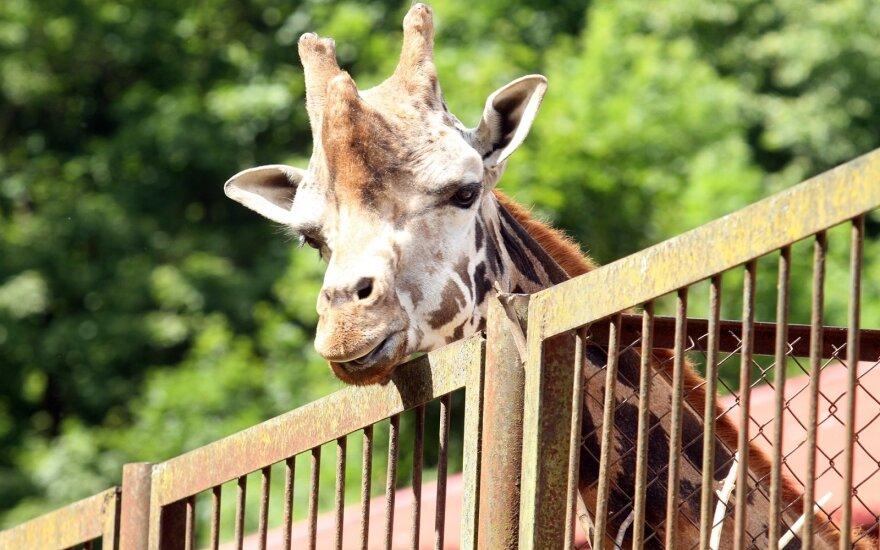 Lietuvos zoologijos sodo žirafa