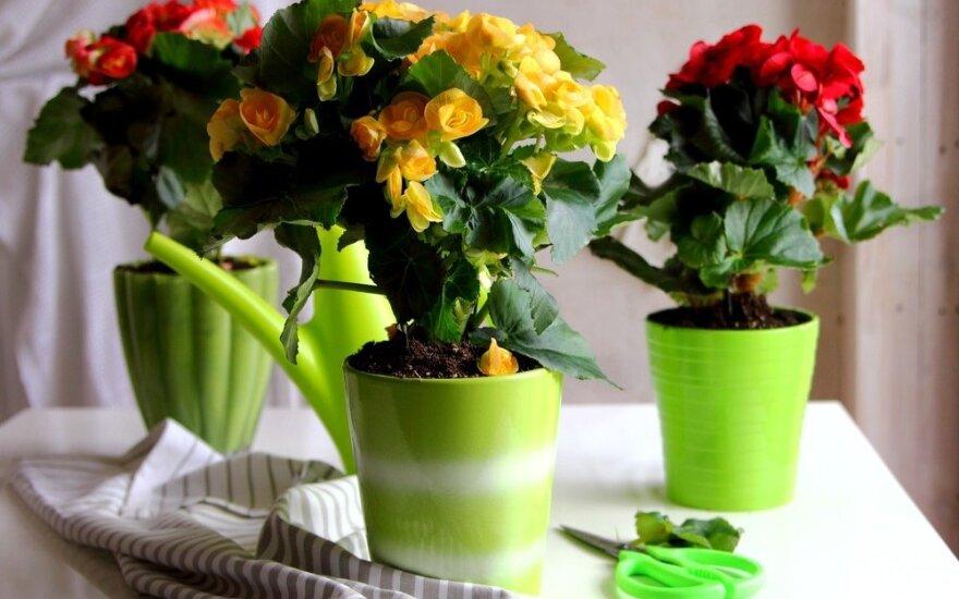Augalai, kuriuos rekomenduojama įkurdinti virtuvėje