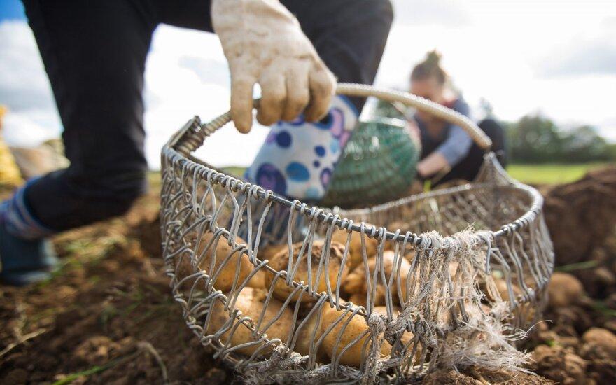 Ekspertas: derlius šiemet geras, priežasčių brangti daugeliui maisto produktų – nėra