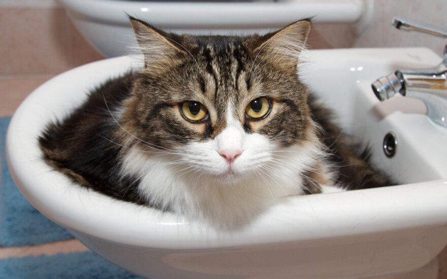 Tyliausios kačių veislės, nenorintiems chaoso namuose
