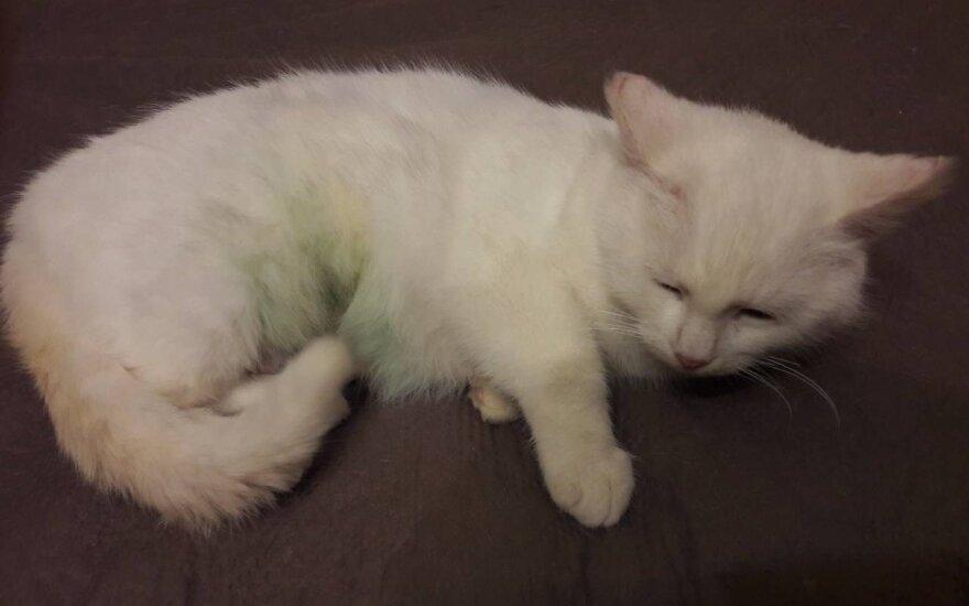 Padėkite sveikti katytei Bjankai – labai prašo paremti