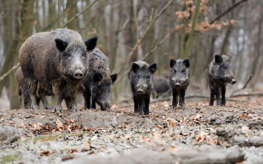 Per savaitę afrikinio kiaulių maro diagnozė - dar 18 šernų