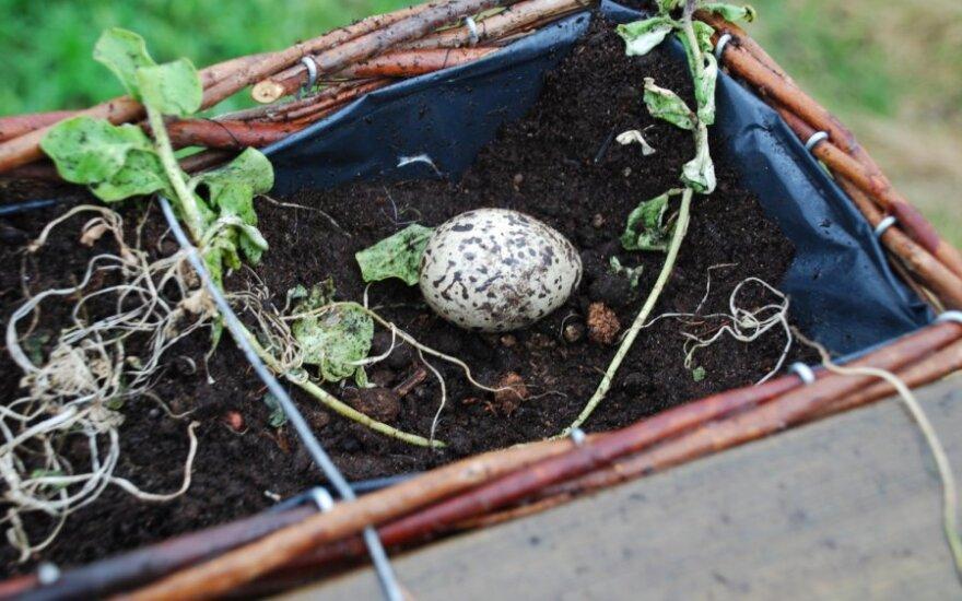 Jūršarkės kiaušinis