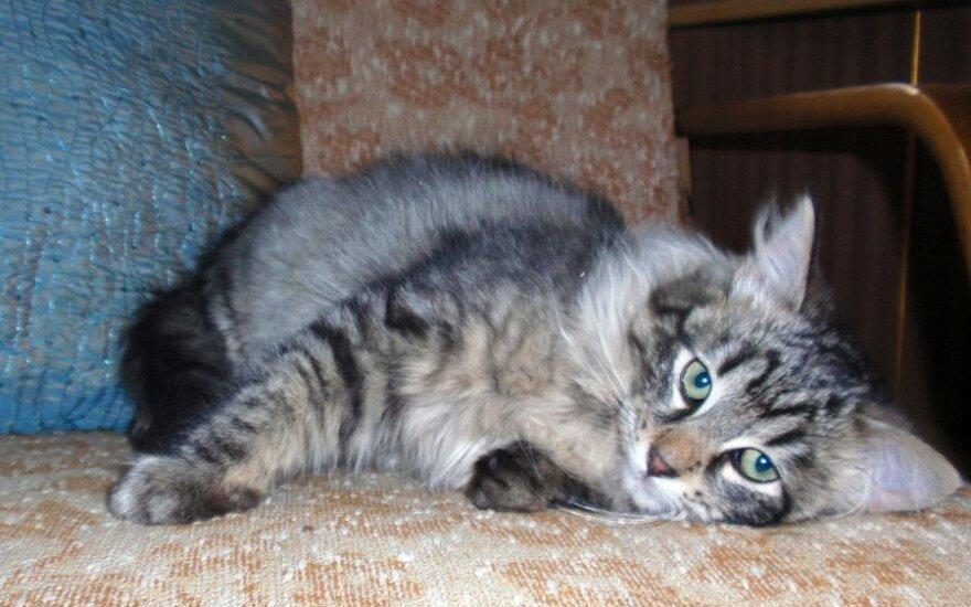 Lobis rastas rūsyje - 4 mėn. katinėlis ieško namų!