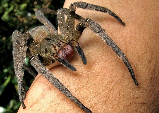 Brazilijos klajojantys vorai (lot. Phoneutria nigriventer) CC-SA/Joao P. Burini nuotr.